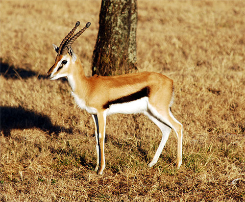 Gazella thomsonii - Thomson Gazelle